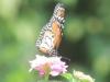 borboleta-na-flor2-vso